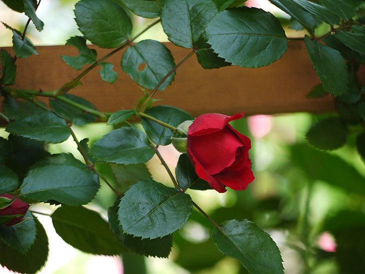 フロレンティーナ(ツルバラ)が咲いた。2017年-10.jpg