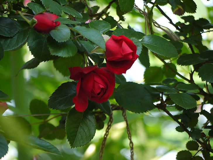 フロレンティーナ(ツルバラ)が咲いた。2017年-11.jpg