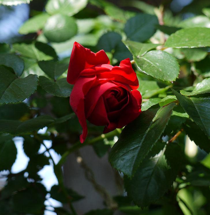 フロレンティーナ(ツルバラ)が咲いた。2017年-3.jpg