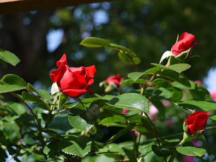 フロレンティーナ(ツルバラ)が咲いた。2017年-4.jpg