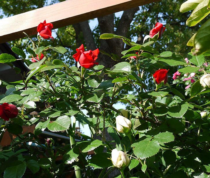 フロレンティーナ(ツルバラ)が咲いた。2017年-5.jpg