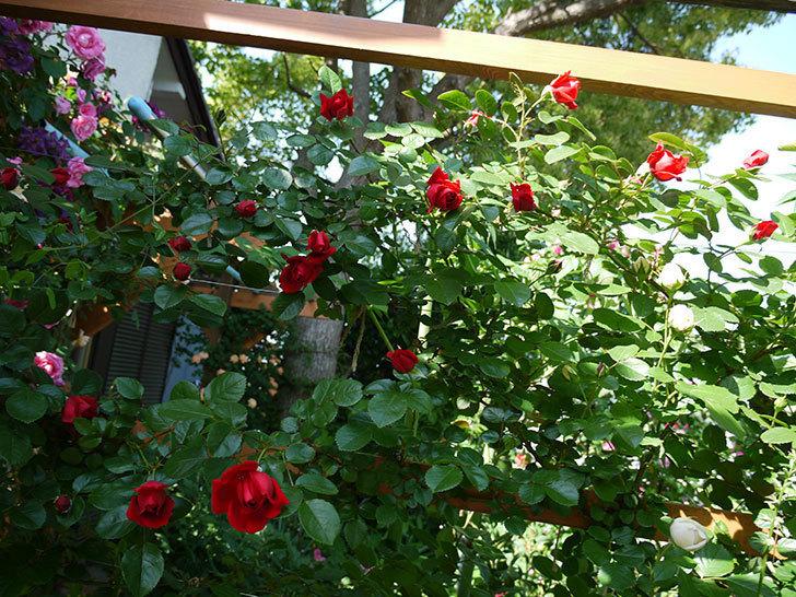 フロレンティーナ(ツルバラ)が咲いた。2017年-6.jpg