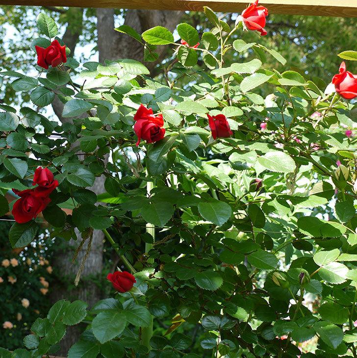 フロレンティーナ(ツルバラ)が咲いた。2017年-8.jpg