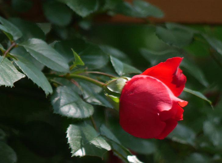フロレンティーナ(ツルバラ)が咲いた。2018年-10.jpg