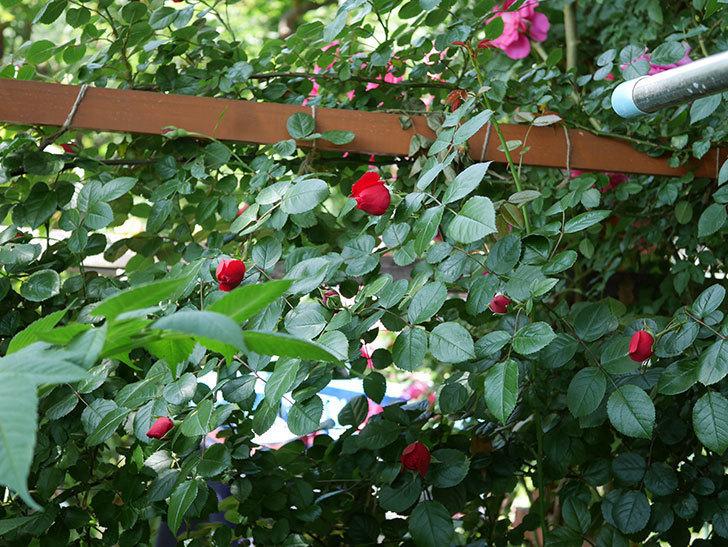 フロレンティーナ(ツルバラ)が咲いた。2018年-11.jpg