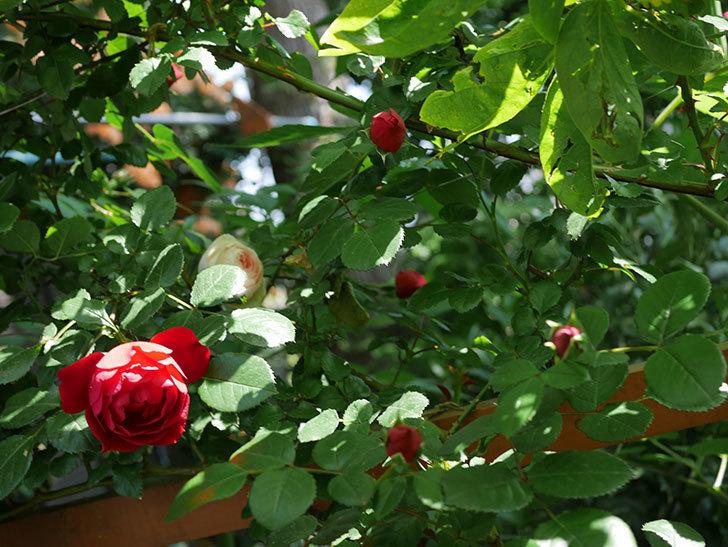 フロレンティーナ(ツルバラ)が咲いた。2018年-18.jpg