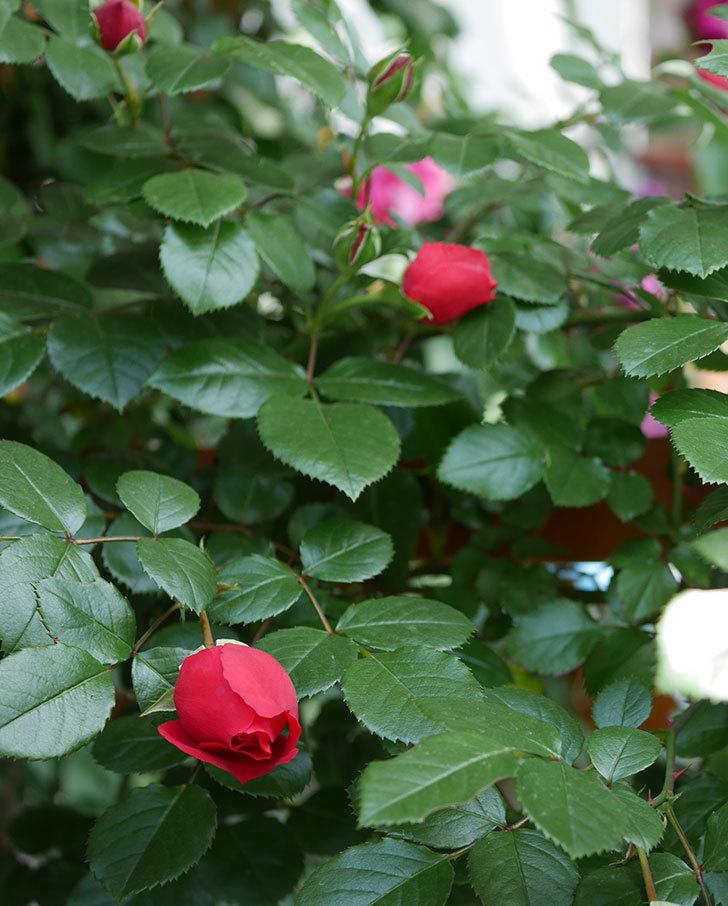 フロレンティーナ(ツルバラ)が咲いた。2018年-21.jpg