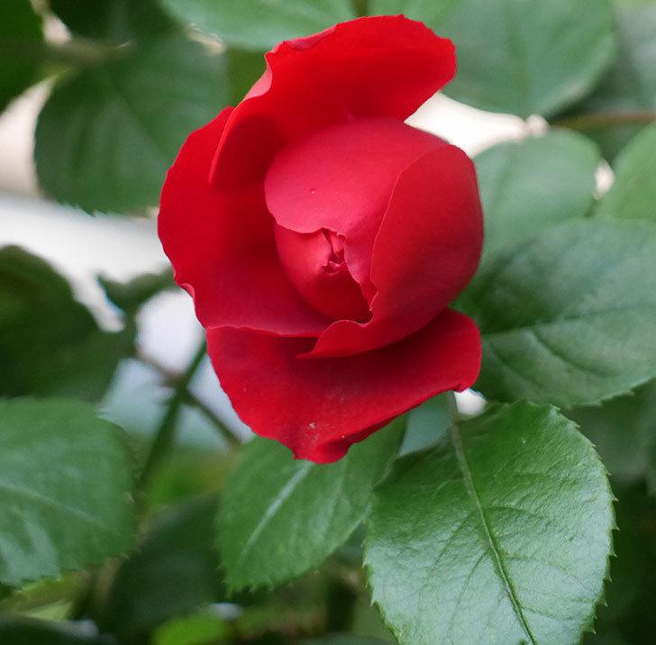 フロレンティーナ(ツルバラ)が咲いた。2018年-4.jpg