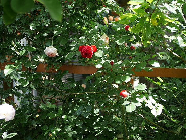 フロレンティーナ(ツルバラ)が咲いた。2018年-6.jpg