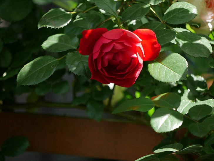 フロレンティーナ(ツルバラ)が咲いた。2018年-7.jpg