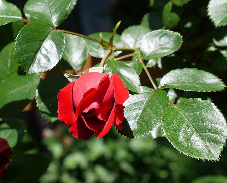 フロレンティーナ(ツルバラ)が咲きだした。2017年-1.jpg