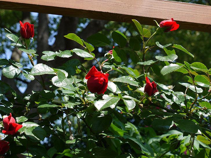 フロレンティーナ(ツルバラ)が咲きだした。2017年-4.jpg