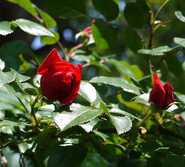 フロレンティーナ(ツルバラ)が咲きだした。2017年-5.jpg