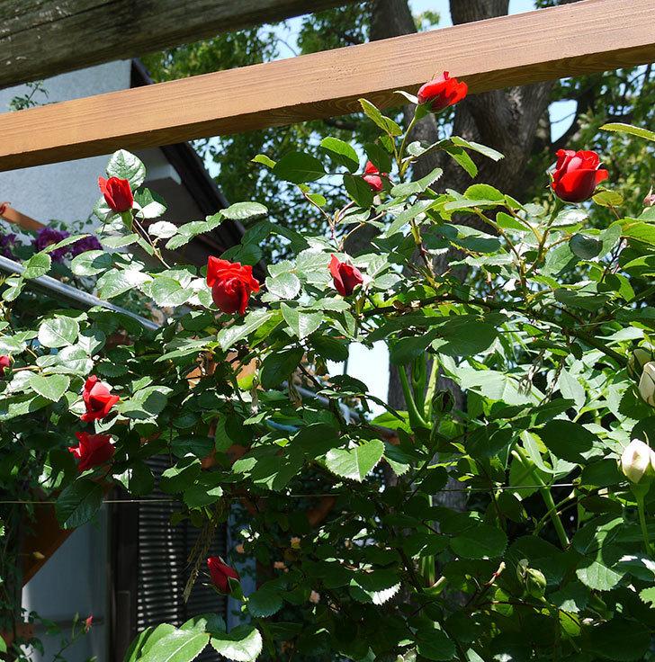 フロレンティーナ(ツルバラ)が咲きだした。2017年-7.jpg