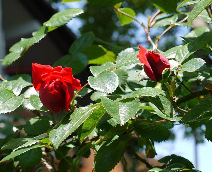 フロレンティーナ(ツルバラ)が咲きだした。2017年-9.jpg