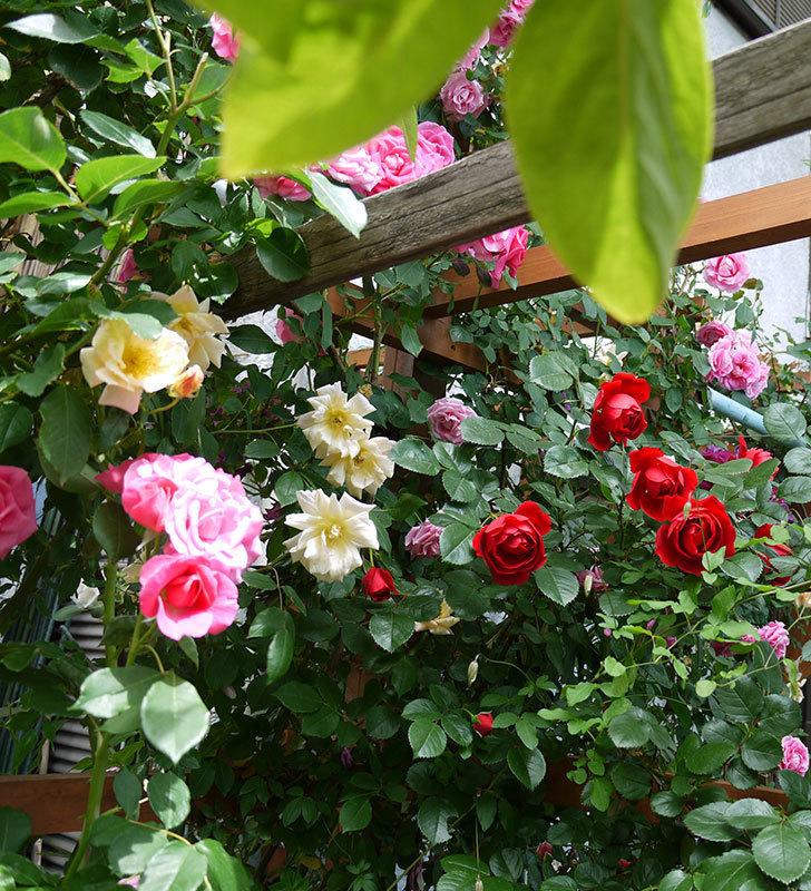 フロレンティーナ(ツルバラ)が綺麗に咲いた。2017年-10.jpg