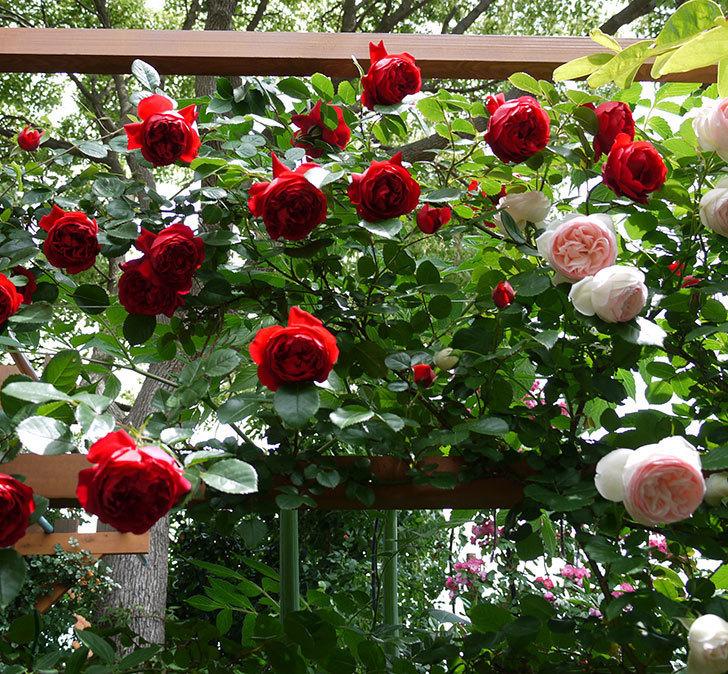 フロレンティーナ(ツルバラ)が綺麗に咲いた。2017年-11.jpg