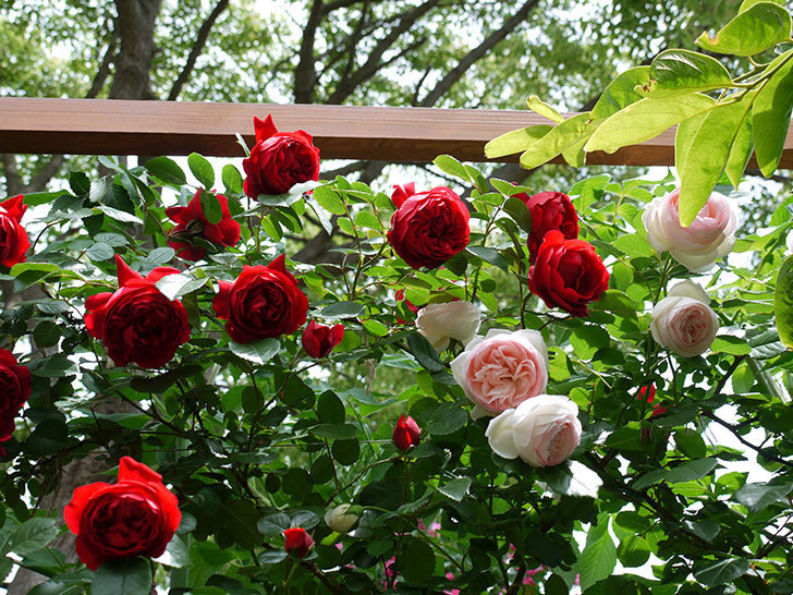 フロレンティーナ(ツルバラ)が綺麗に咲いた。2017年-12.jpg