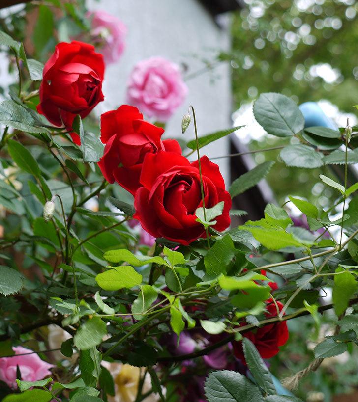 フロレンティーナ(ツルバラ)が綺麗に咲いた。2017年-13.jpg