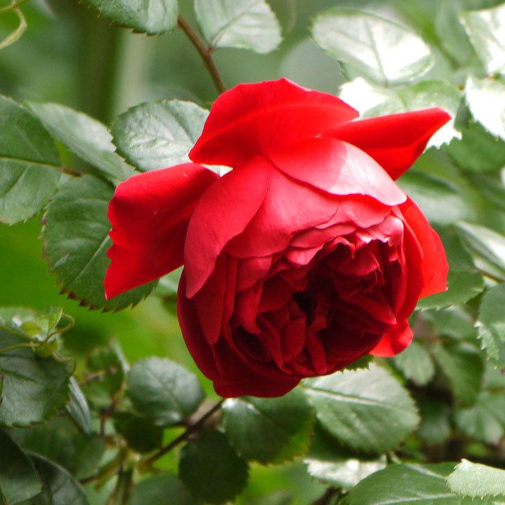 フロレンティーナ(ツルバラ)が綺麗に咲いた。2017年-17.jpg