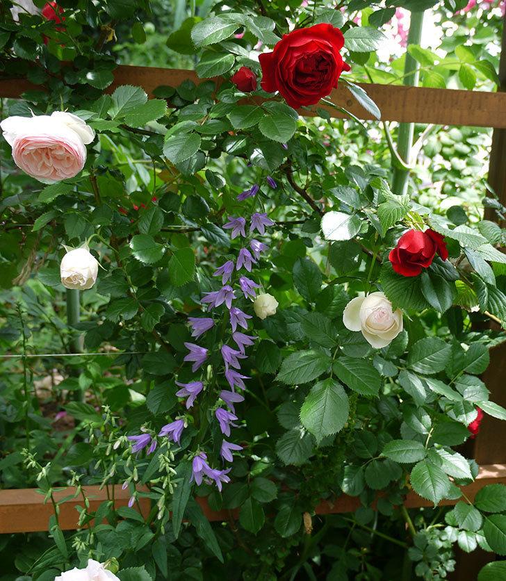 フロレンティーナ(ツルバラ)が綺麗に咲いた。2017年-3.jpg
