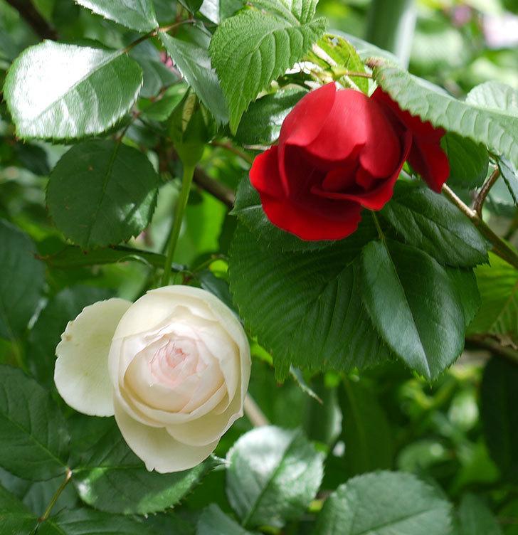 フロレンティーナ(ツルバラ)が綺麗に咲いた。2017年-4.jpg