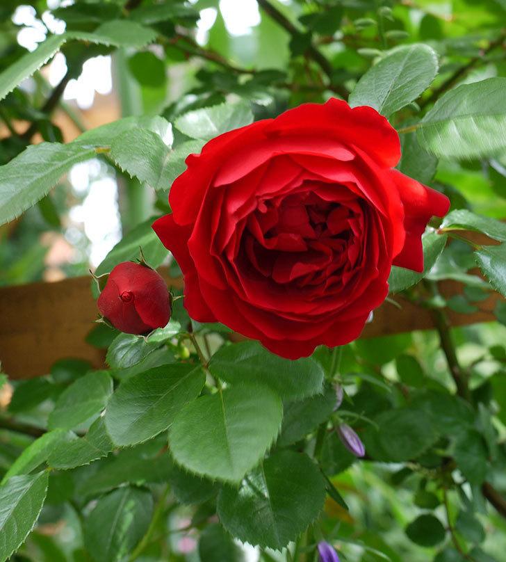 フロレンティーナ(ツルバラ)が綺麗に咲いた。2017年-5.jpg