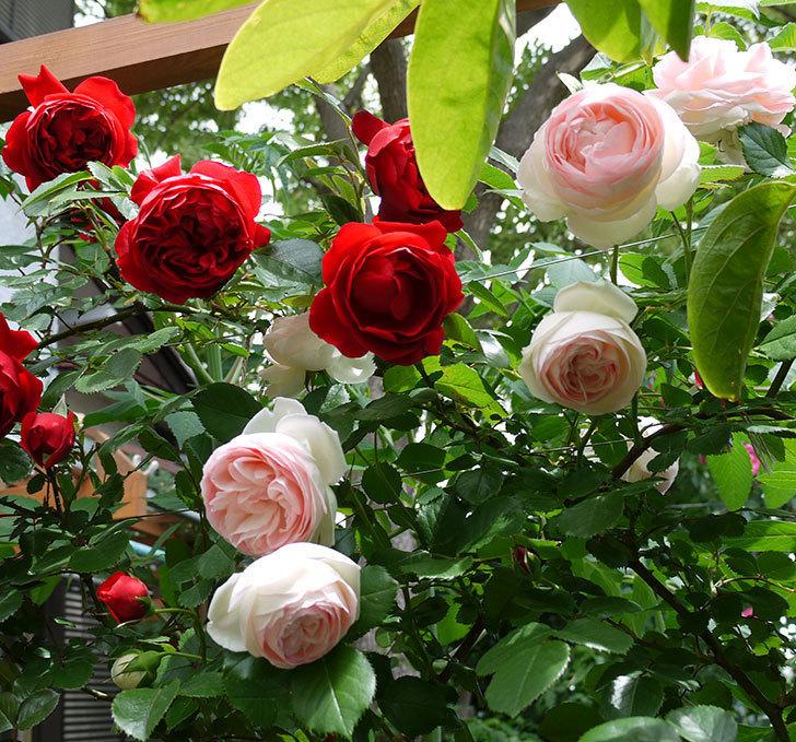 フロレンティーナ(ツルバラ)が綺麗に咲いた。2017年-6.jpg