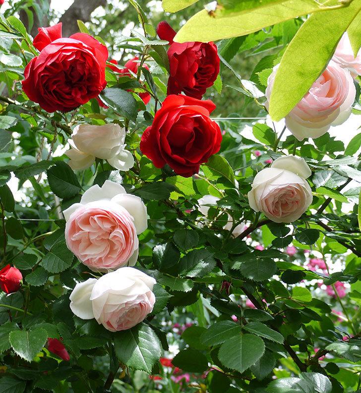 フロレンティーナ(ツルバラ)が綺麗に咲いた。2017年-7.jpg