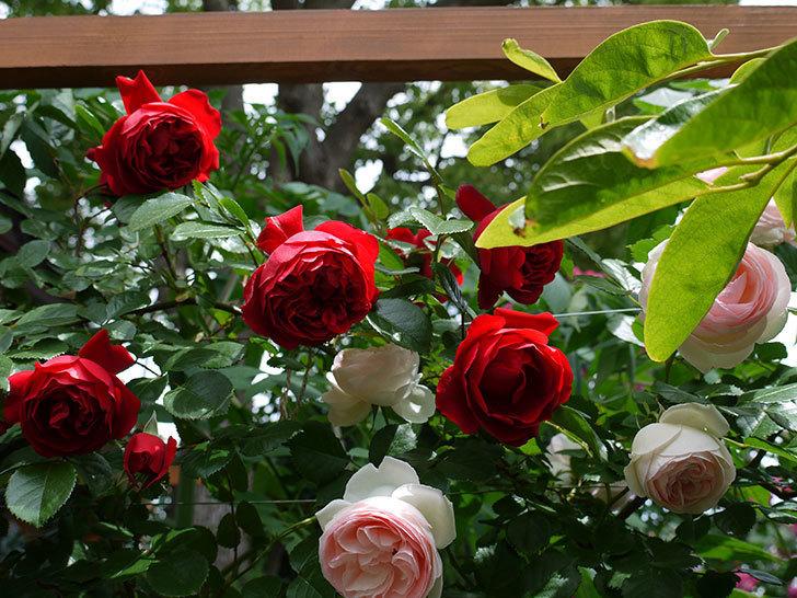 フロレンティーナ(ツルバラ)が綺麗に咲いた。2017年-8.jpg