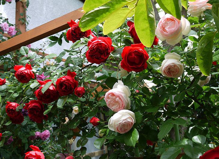フロレンティーナ(ツルバラ)が綺麗に咲いた。2017年-9.jpg