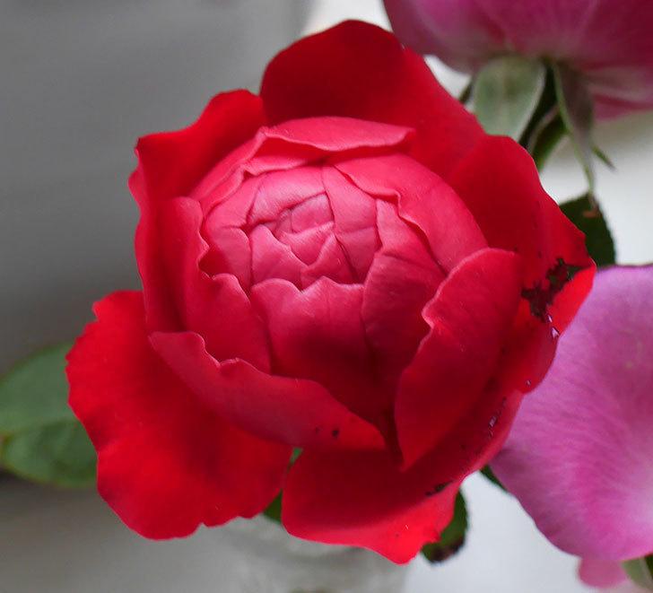 フロレンティーナ(ツルバラ)が返り咲きしたので切り花にした。2017年-2.jpg