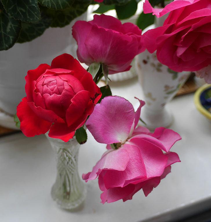 フロレンティーナ(ツルバラ)が返り咲きしたので切り花にした。2017年-3.jpg