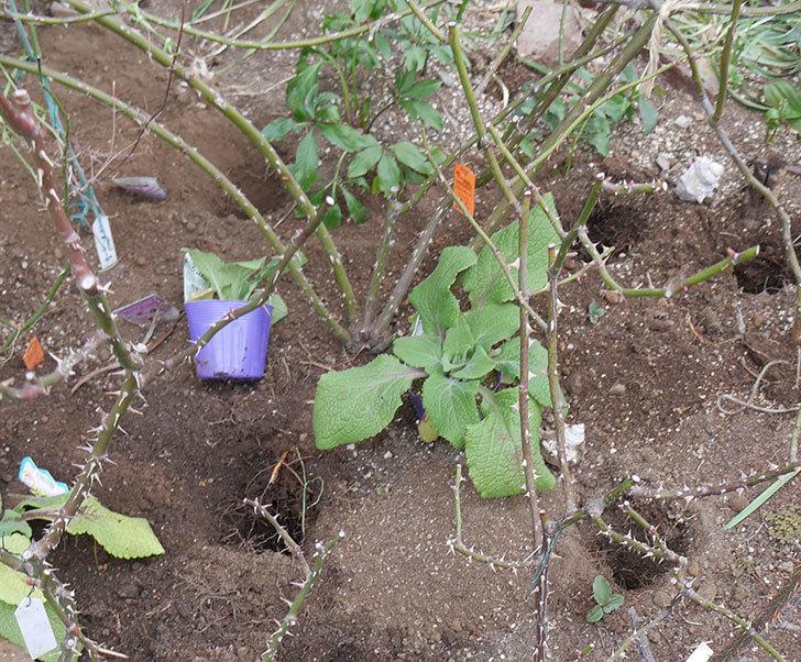 フロレンティーナ(ツルバラ)に寒肥を施した。2019年-1.jpg