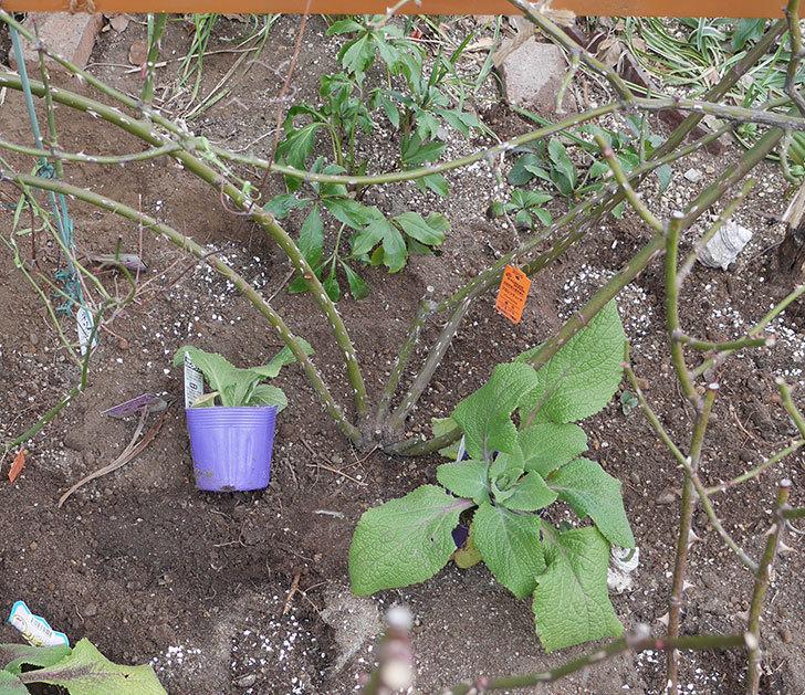 フロレンティーナ(ツルバラ)に寒肥を施した。2019年-2.jpg