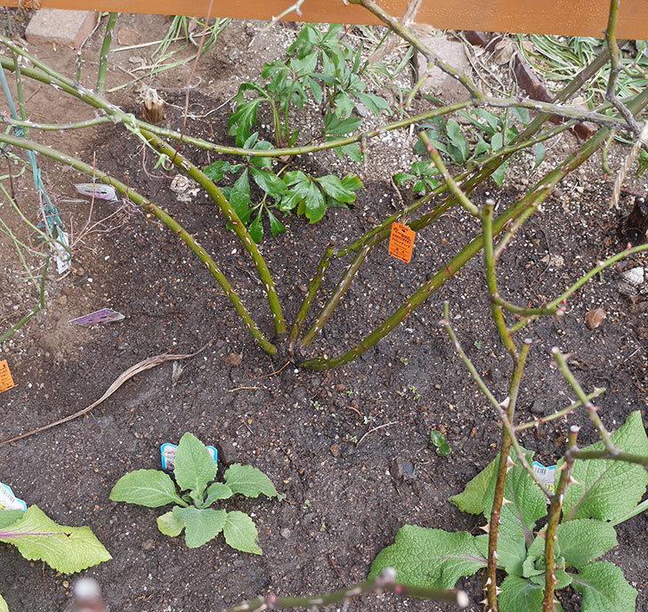 フロレンティーナ(ツルバラ)に寒肥を施した。2019年-3.jpg