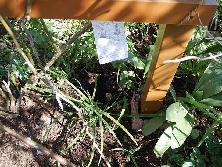 フロレンティーナ(ツルバラ)に寒肥を施した。2020年-2.jpg