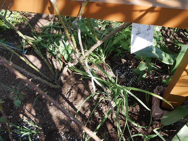 フロレンティーナ(ツルバラ)に寒肥を施した。2020年-5.jpg