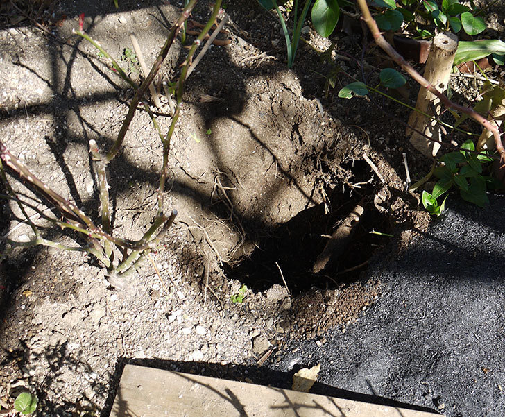 フロレンティーナ(ツルバラ)に穴を掘って寒肥をやった。2017年-1.jpg