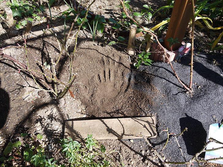 フロレンティーナ(ツルバラ)に穴を掘って寒肥をやった。2017年-4.jpg