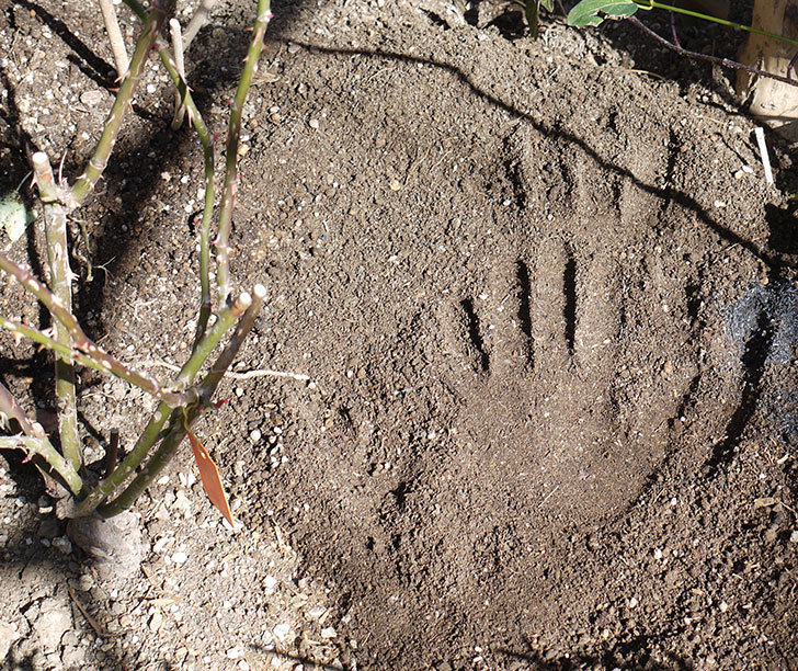 フロレンティーナ(ツルバラ)に穴を掘って寒肥をやった。2017年-5.jpg