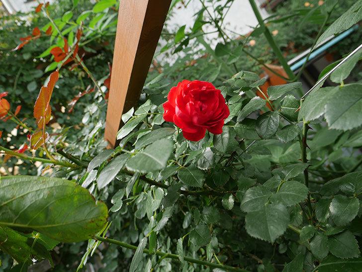フロレンティーナ(ツルバラ)の2番花が咲いた。2018年-2.jpg