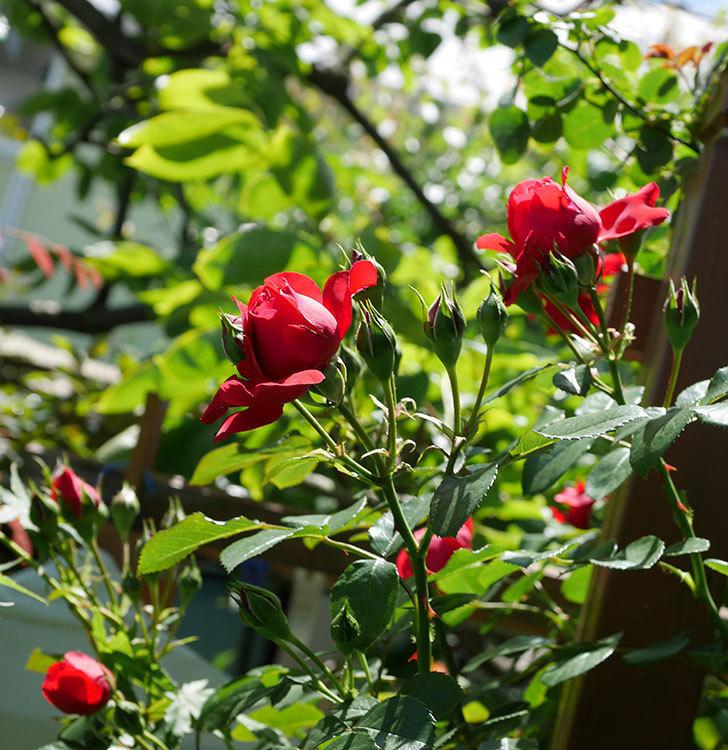 フロレンティーナ(ツルバラ)の花がたくさん咲いた。2019年-10.jpg