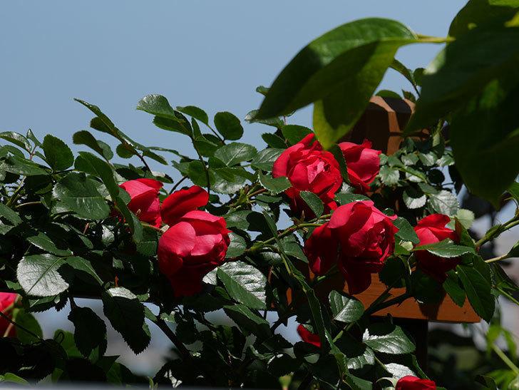 フロレンティーナ(ツルバラ)の花がたくさん咲いた。2019年-12.jpg