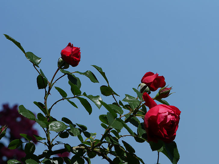 フロレンティーナ(ツルバラ)の花がたくさん咲いた。2019年-13.jpg