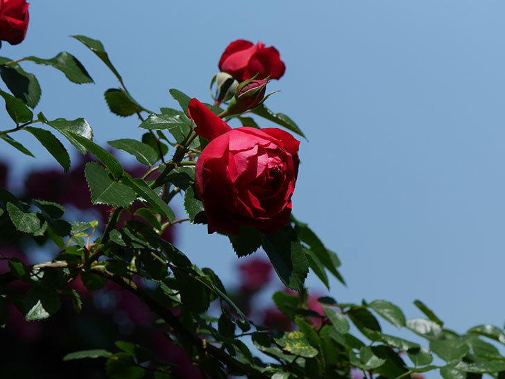フロレンティーナ(ツルバラ)の花がたくさん咲いた。2019年-14.jpg