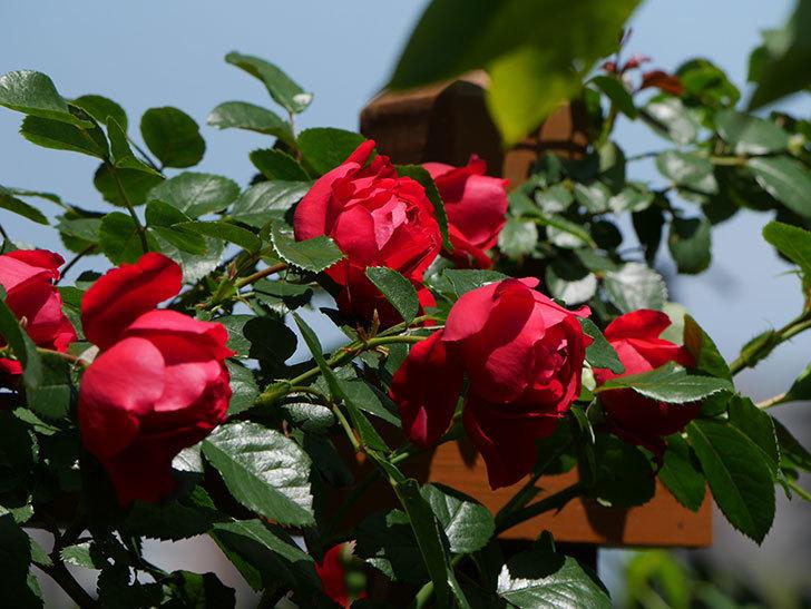 フロレンティーナ(ツルバラ)の花がたくさん咲いた。2019年-16.jpg