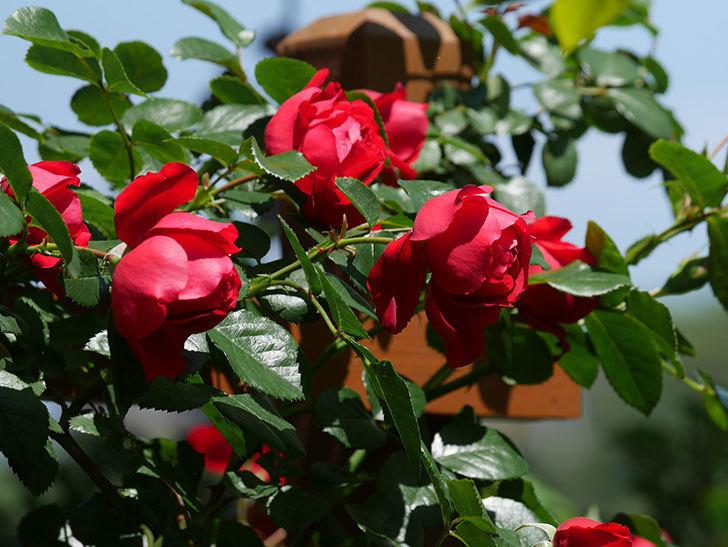 フロレンティーナ(ツルバラ)の花がたくさん咲いた。2019年-19.jpg
