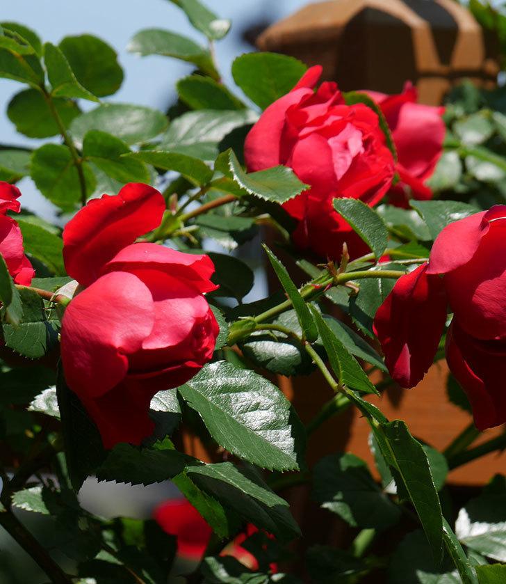 フロレンティーナ(ツルバラ)の花がたくさん咲いた。2019年-20.jpg