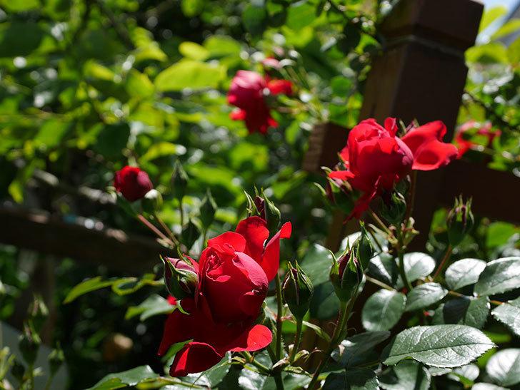フロレンティーナ(ツルバラ)の花がたくさん咲いた。2019年-4.jpg
